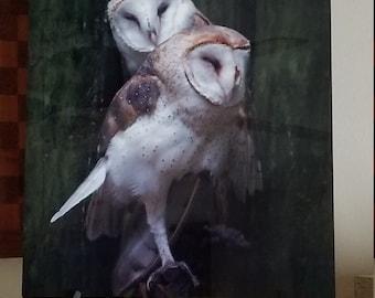 Barn owls snuggling Metal 16x20 print