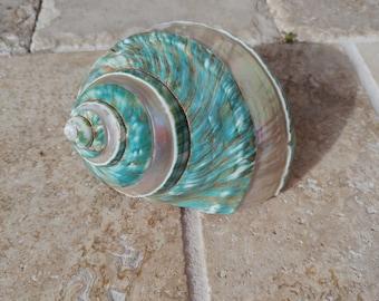 Turbo Shell -  Jade Turbo Shell - Natural Turbo - Polished Jade Seashell - Polished Jade Turbo - Pearlized Shell - No. 210