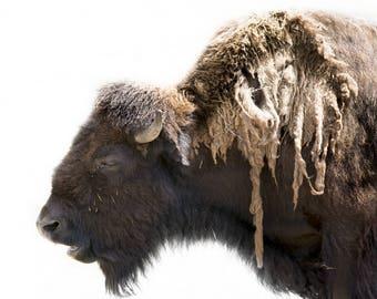Buffalo photo, bison wall art, western ranch decor, western photography, log cabin decor, rustic wall art, American animal photo | Shaggy