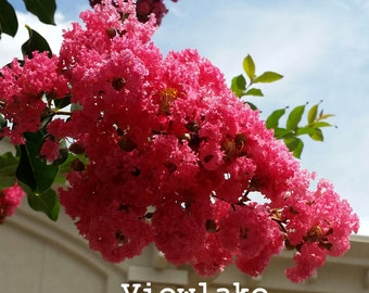 Red Crepe Myrtle Tree--Beautiful Summer-Long Blooms and Autumn Foliage