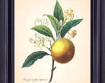 REDOUTE Antique French Fruit Print Large ORANGE Citrus 8x10 Art Print Vintage Botanical Plate 89 Summer Garden Kitchen Wall Decor  FV1331