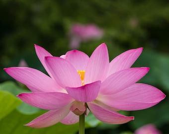 Flower Art, Pink Lotus Flower, Fine Art Color Canvas, Nature Photography