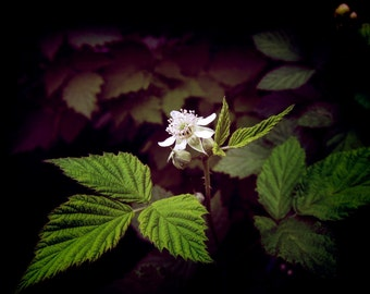 Black Raspberry Blossom Photograpy Art Print, Flower Photography, Plant Photography, Photography Wall Art, Garden Photography Print