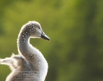 Stretch. Fluffy cygnet stretching in the sunlight. British wildlife photography print.