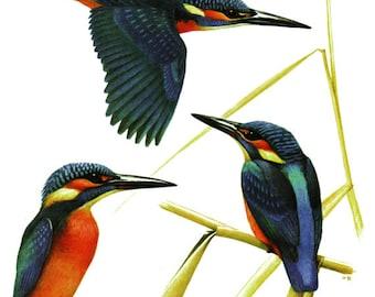 Kingfisher print 1959 Vintage blue bird art Kingfisher bird wall art Gift for bird lover