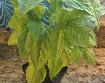 Sweet Basil Plants! Pesto!