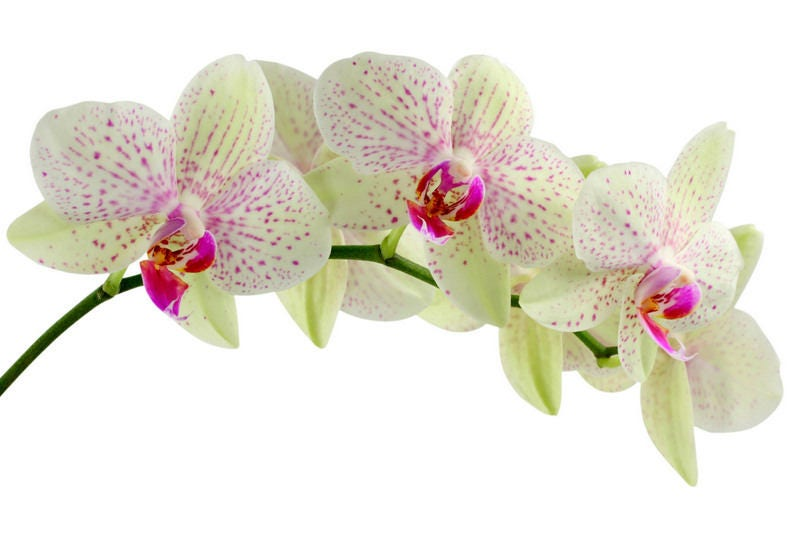 orchidee blanche et rose