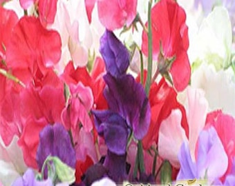 1 oz (30ml)    SWEET PEA - SWEETPEA Fragrance Oil - Delicate scent of sweet peas along the garden fence. Very feminine and old-fashioned