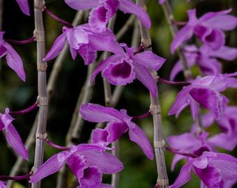orchids art print --orchids flower prints, sobralia orchids, orchids wall art, orchids print, orchids art