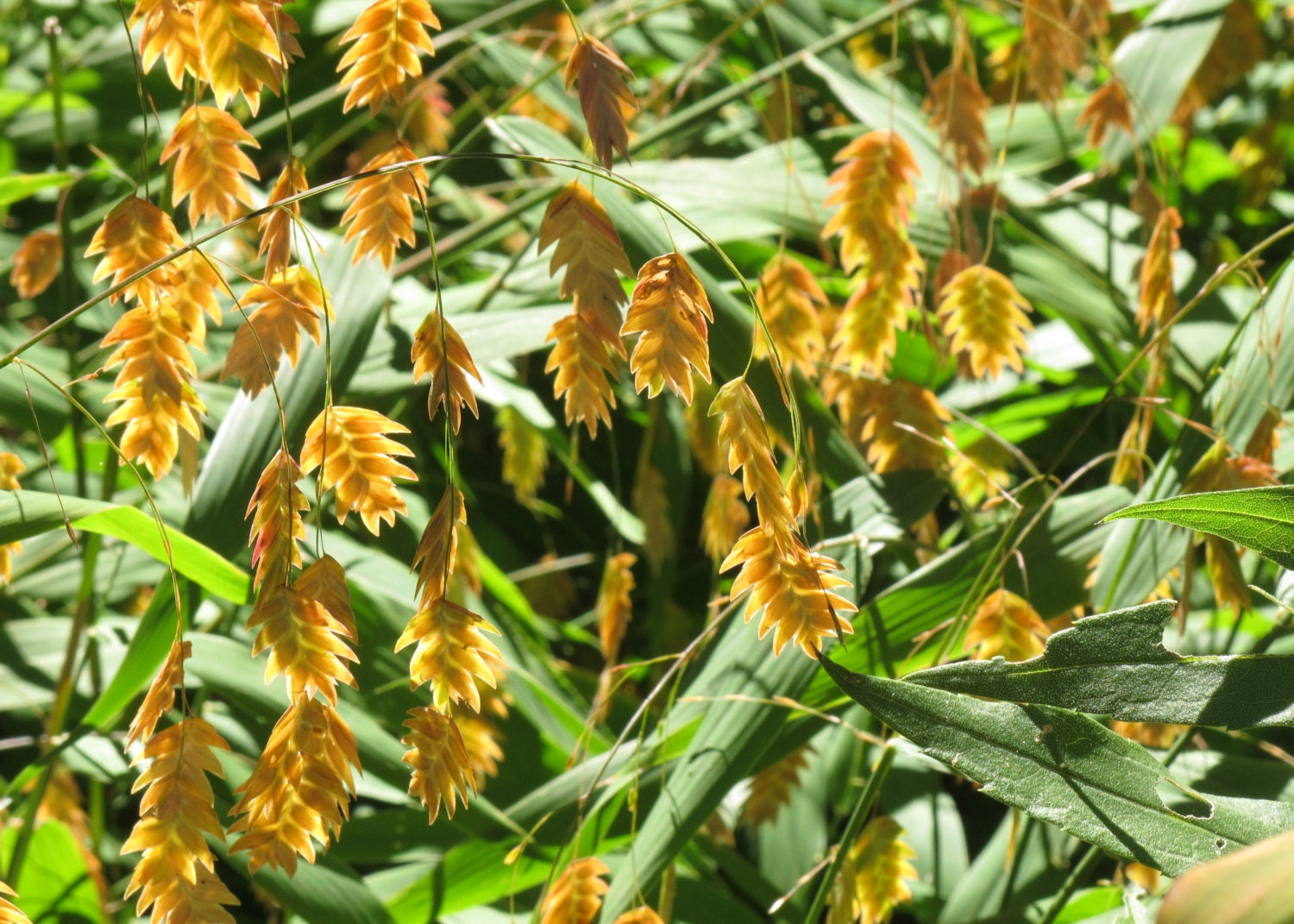 how to grow river oats