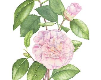Camellia Japonica. Botanical illustration. Fine art watercolor print.
