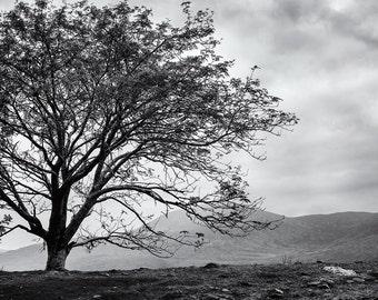 Ireland Black and White Photography, Tree Photo, Fine Art Print