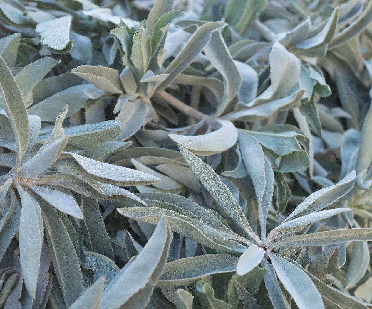 5 Pounds Dried California White Sage Smudge Bulk Cluster Herb