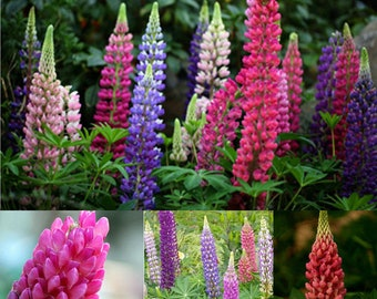 100pcs Mixed Russell Lupine Seeds