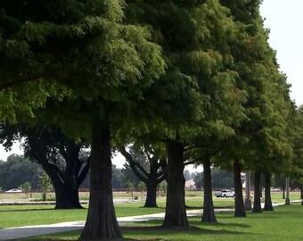 Bald Cypress Tree ( Taxodium distichum ) - Live Plant - Quart Pot