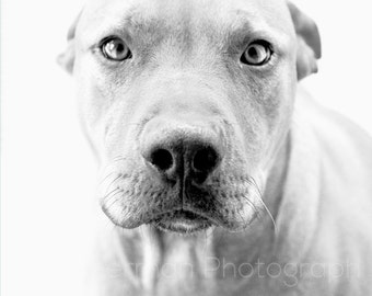 Pitbull Dog Print - Black and White - Pitbull art - Pitbull Photography - Pitbull Lover Gift - Pitbull Gift - Dog Lover Gift - Animal Print