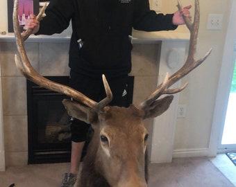 Giant Elk head taxidermy