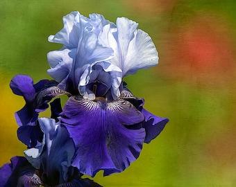 Bearded Iris, Flower Image, Garden Art, Garden Photos, Purple Iris Photo,