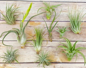 "75pc Air Plant Tillandsia ""TLC"" Assortment  / Second Chance Quality / Wholesale Price Tillandsias with Minor Imperfections"