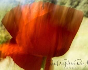 Poppy, Poppy Photography, Flower, Nature, Poppy Art, Photography, Orange, Poppy Flower, Red Flower, Outdoors,