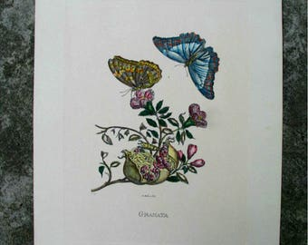 Antique French Botanical Print Hand Coloured, Butterflies and Pomegranate