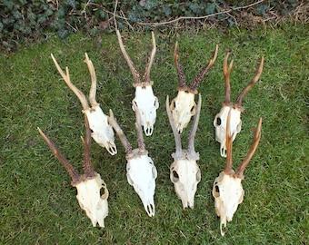 Collection roedeer antlers * czech taxidermy * trophy * roebuck * skull
