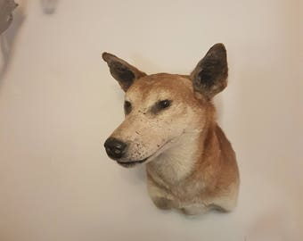 Taxidermy Dingo Shoulder Mount