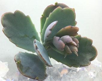 Succulent - Kalanchoe fedtschenkoi - 'Lavender Scallops'