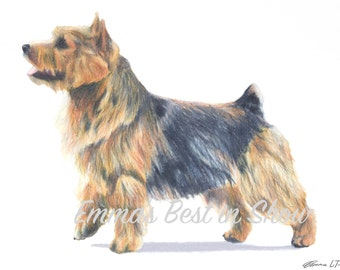 Norwich Terrier Dog - Archival Fine Art Print - AKC Best in Show Champion - Breed Standard - Terrier Group - Original Art Print
