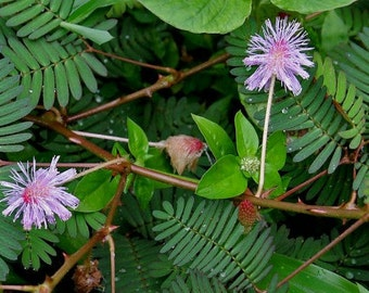 Wholesale 100 grams Mimosa Seeds Pudica Shy Sensitive Plant Pink Flower Grass B4001(1)