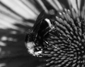DIGITAL DOWNLOAD photo, B&W, Black and White bee nature, Honey Bee photo Bee photo Echinacea flower picture fine art turtlesandpeace gift