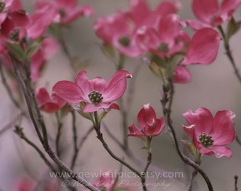 Dogwood Photo, Pastel Pink Wall Art, Pink Art for Girls, Flower Photo, Gifts for Her, Floral Photo, Pink Dogwood Flower, Cottage Chic Art
