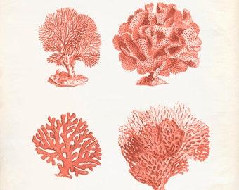 Vintage-Sea Fan Korallen Print 8 x 10 P292