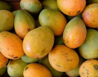 Mango Tree, 13 Cultivars Available - Grafted 3 gallon - Established Live Plant- Naturally Grown - Quality Assurance - Permaculture Plant