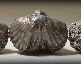 Three (Pictured) Super Well-Defined Calcitic Devonian Spirifer Fossils, from Vinton, Iowa
