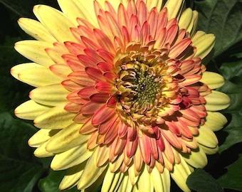 ADGCW)~CARTWHEEL YELLOW Gerbera Daisy~Seed!~~~~~Stunning!!