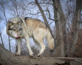 Intensity - A Wolf Knows What It Wants