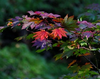 Leaf Photography, Leaf Wall Art, Japanese Maple Fall Color, Autumn Leaves Picture, Orange, Red, Green, Fall Wall Art, Nature Photography