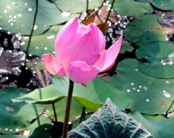 Pink Lotus Flower Photo Greeting Card - Flower Photography - Notecard Blank - Water Lily in Pond Fine Art Photo - Spiritual Flower Note Card