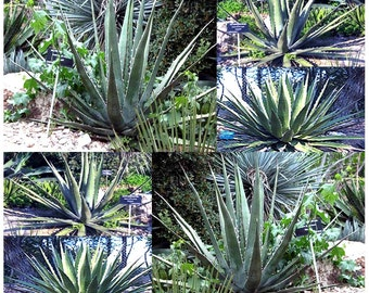 AGAVE kerchovei Plant Seeds - lance-shaped leaves with prominent, large, variably disposed lateral teeth - for Alpines and Rock Garden