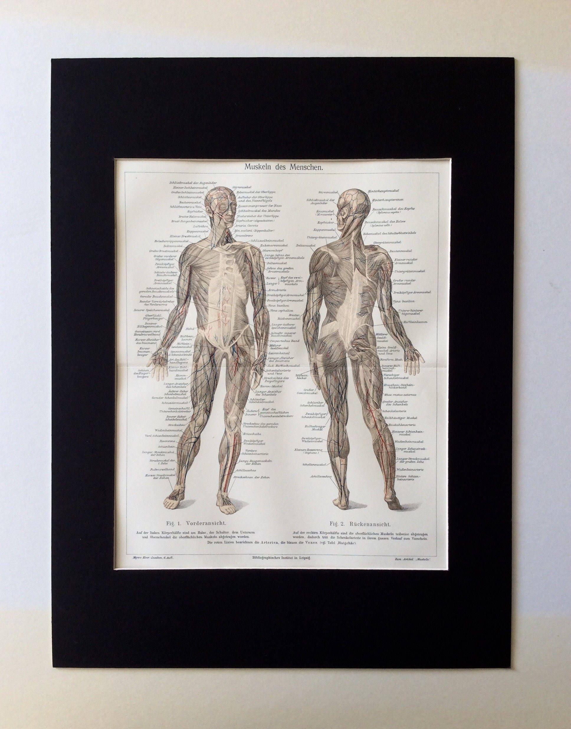 Beste Muskeln Des Torsos Anatomie Bilder - Menschliche Anatomie ...