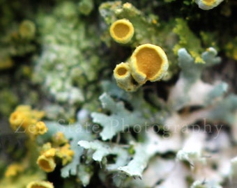 Lichen Macro Photography Print. Nature Wall Art. Tree Moss Photograph. Unframed Photo Print, Framed Photograph, or Canvas Print. Home Decor.