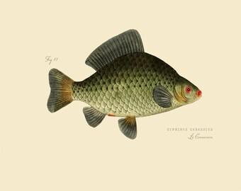 """Vintage Fish """"Le Carassin"""" Print 8x10 P173"""