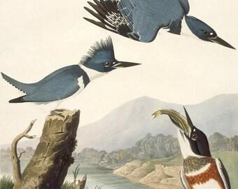 John James Audubon Reproductions - Birds of America.  Belted Kingfisher, 1830. Fine Art Print.