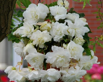 2 Giant Pendula White Begonia Bulbs 7+cm Great in Hanging basket! shipping April 2018