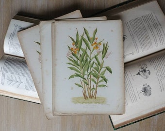 """Botanical print """"Alpinia nutans"""" lithograph in color"""