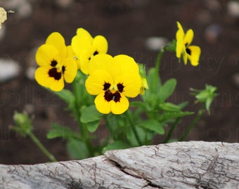 Nature Photograph, Butter Yellow Pansies Planed in Rough Wood Garden Frame, Bedroom Interior Decorating