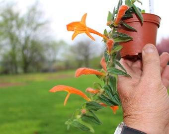 columnea orange sherbet