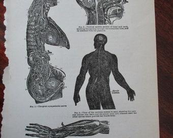 original page  - 1916 MEDICAL CHART from antique medical book - nerves, nervous system