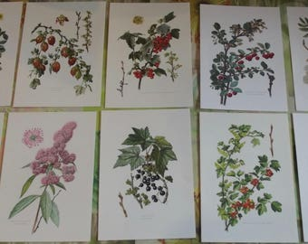 10 old engravings boards Cassis, Groseilliers thorny Alps wall decoration, interior design, red Rowan